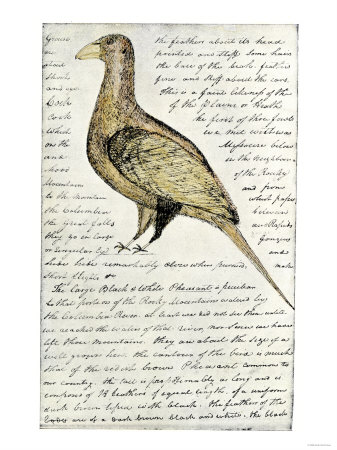 sketch-by-william-clark-of-cock-of-the-plains-in-the-lewis-and-clark-expedition-diary